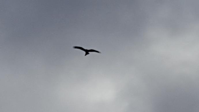 Red Kite Thurnham